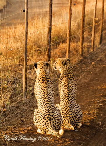 Cheetah on the Fence Line
