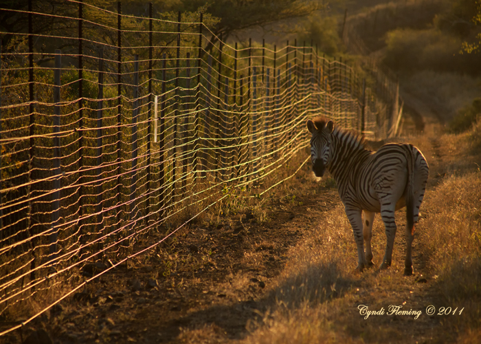 Zebra on the Fence Line