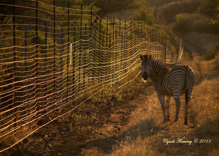 Zebra on the Fence Line